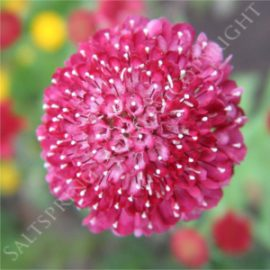 Scabiosa Double Red Seeds
