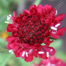 Double Red Scabiosa