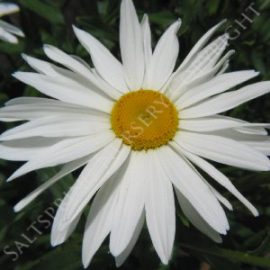 Leucanthemum X Superbum