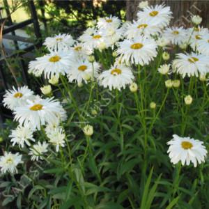 Shasta Double Daisy Seeds