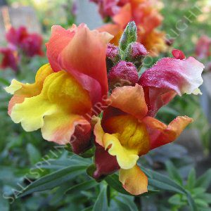Snapdragon Intermediate