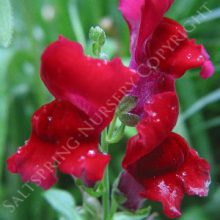 Snapdragon Red