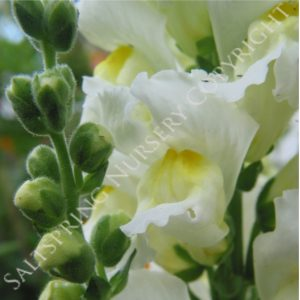 Antirrhinum majus Intermediate White