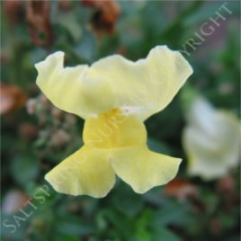Snapdragon yellow