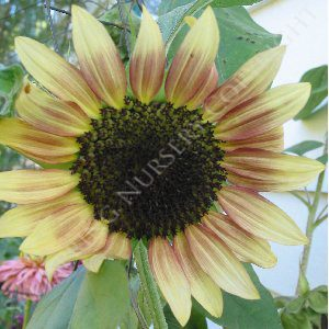 Sunflower Cherry Rose