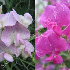 Sweet Pea Bi Color