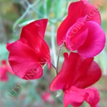 Sweet Pea Red
