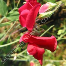 Tall Red Sweet Pea Seeds