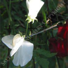 Sweet Pea White