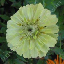 Zinnia Green Envy Seeds